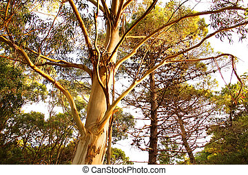 Eucalyptus Tree in Mar de las Pampas - A Eucalyptus tree in...