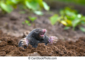 Mole in ground Real picture