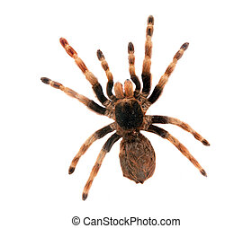 Big spider isolated - Big hairy spider isolated on white....