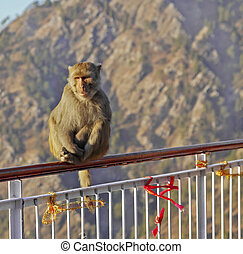 Indian Himalayas monkey sat on Handrail