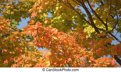 Fall leaves.  - Bright fall colours on a sunny day.