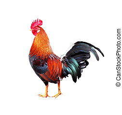 Rooster on white background - Colourful rooster (American...