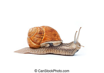 snail on white background - Close up shot of Burgundy Roman...