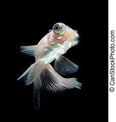 white goldfish on black background - white goldfish on black...