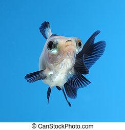 fancy goldfish on blue background