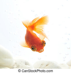 goldfish in fishbowl  - goldfish in fishbowl