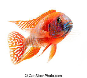 red cichlid fish, ruby red peacock fish, isolated on white...
