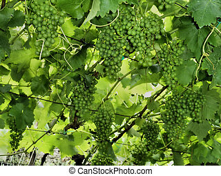 Wine grapes at the trellis - close-up image, green grapes,...
