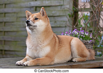 Shiba Inu dog lying down on a wooden table