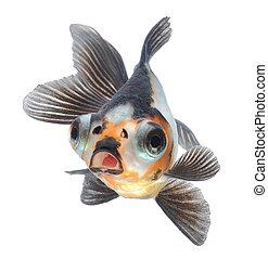goldfish pet isolated on white background