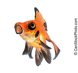 goldfish pet isolated on white - amazing goldfish pet...
