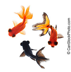 goldfish pet top view isolated on white background