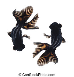 black goldfish isolated on white background from top view