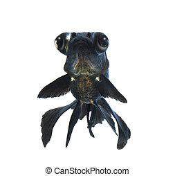 black goldfish isolated on white background