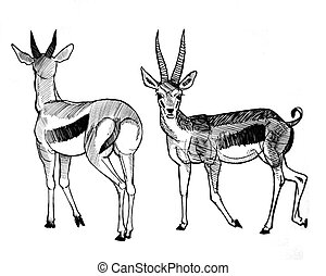 Thompsons Gazelle - pen drawing of Thompsons Gazelle, front...