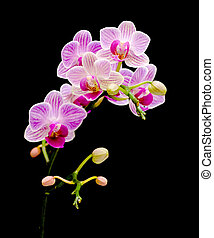 branch bloom orchids on a black background - blooming pink...