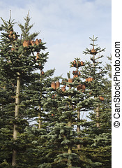 Spruces with lots of spruce cones