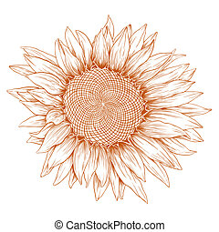 Vector sunflower. - Vector sunflower in vintage engraving...