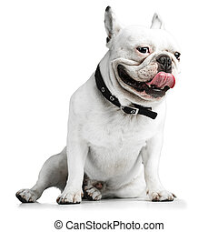 french bulldog showing the tongue over white background