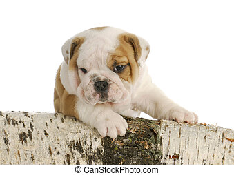outdoor puppy - english bulldog puppy climbing on wood