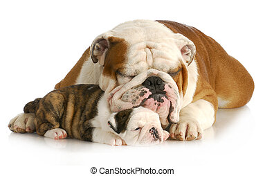 bulldog father and daughter resting together on white...