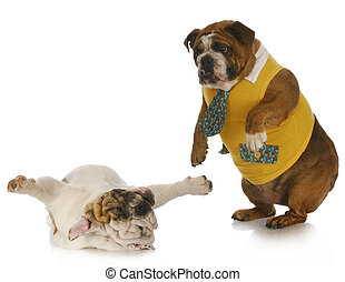 silly dogs - english bulldog standing looking down at...