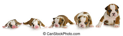puppy growth - english bulldog puppy at one day, one week,...