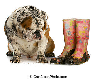 dirty dog and muddy boots - english bulldog sitting beside...