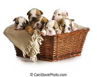 basket of puppies - english bulldog puppies in a wicker...