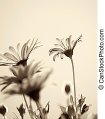 Sepia toned daisy background.