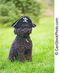 Poodle with a pirate hat on. - Humorous image of a little...