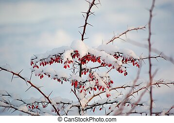 Barberries covered with snow