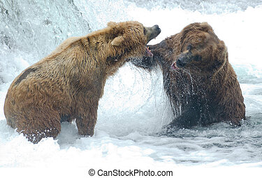 Alaskan brown bears fighting - Two Alaskan brown bears fight...