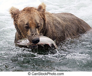 Alaskan brown bear with salmon - An Alaskan brown bear...