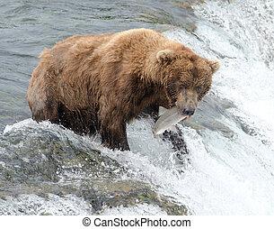 Alaskanin, brązowy, Niedźwiedź