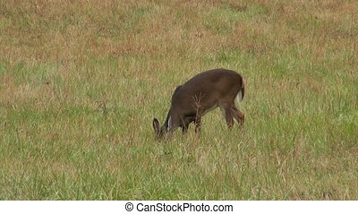 Whitetail deer doe - A whitetail deer doe grazes in a field...