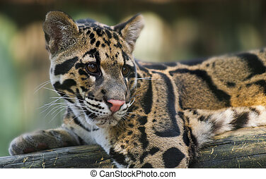 Clouded Leopard - Young Clouded Leopard - Neofelis Nebulosa