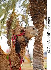 A camel in oasis in desert