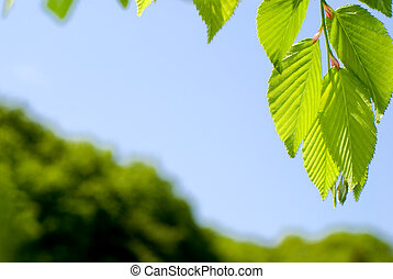 Bright green leaves of the Chonowski's hornbeam tree in...
