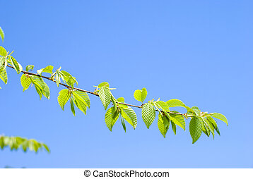 Bright fresh green leaves of the Chonowski's hornbeam tree...