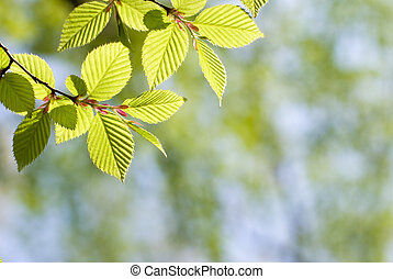 Green leaves in forest - Fresh green Chonowskis hornbeam...