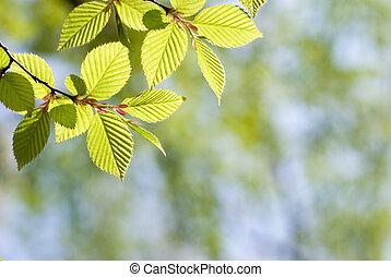 Green leaves in forest - Fresh green Chonowski's hornbeam...