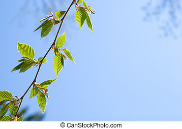 Fresh green leaves of the Chonowski's hornbeam tree