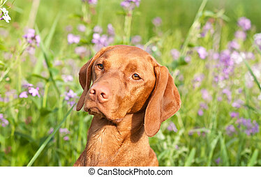 Closeup Portrait of a Vizsla Dog with Wildflowers - A...