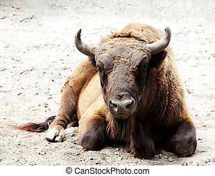 Aurochs is on the ground Bison bonasus
