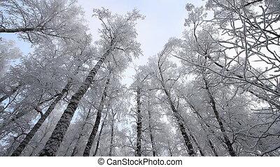 Winter scene 23 - Forest in winter.