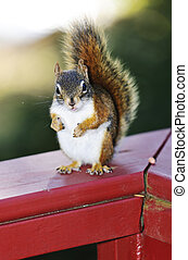 Red squirrel on railing