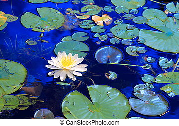 White water lilies floating in Minnesota lake
