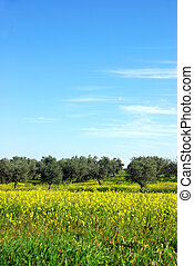 olives tree in yellow field at Portugal