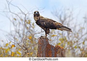 Galapagos Hawk on Santa Fe - Galapagos Hawk on a sunny day,...
